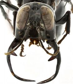King of Wasps' found in Indonesia: Two-and-a-half inch monster has jaws longer than its legs