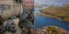 island ship rats infestation - Google Search