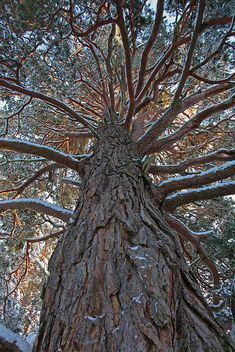 Ancient Scots Pine Tree