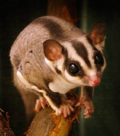 our new pet. we love our sugar glider!