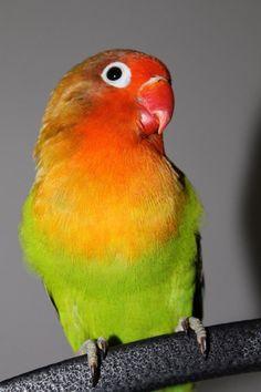 Fischer's Lovebird as Pet.