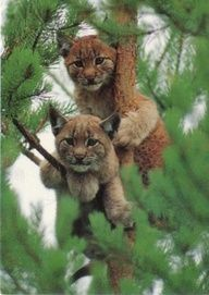 Big cats in pine tree (not sure what kind of cat this is?  has different ears...)