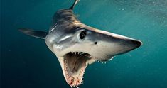 Photo by A Shortfin Mako Shark in New Zealand swims open-mouthed at photographer Brian Skerry. Makos are one of the fastest fish in the sea, capable of bursts up to and of all shark. All Sharks, Types Of Sharks, Shark Pictures, Shark Photos, Shark Images, Shark Diving, Shark Swimming, Shark Shark, Shark Mouth