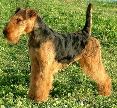welsh terriers | Welsh Terrier, toutes les informations sur cette race de chiens
