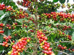 El cafe salvadoreño