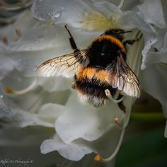 #bumblebee #WINGS #gold Golden Wings, Photo S, Art Prints, Art Impressions