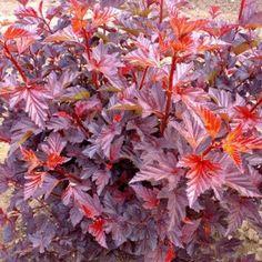 Physocarpus opulifolius 'Andre' / Lodjap-põisenelas 'Andre'