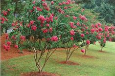 """DON""""T COMMIT CREPE MURDER! Just because your neighbors butcher their crepe myrtles doesn't mean you should too. Here's how to fix past mistakes and prune them right. Trees And Shrubs, Flowering Trees, Trees To Plant, Outdoor Plants, Garden Plants, Outdoor Gardens, Outdoor Spaces, Pruning Crepe Myrtles, Gardens"""