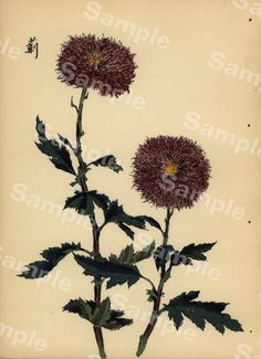 Lovely KORIN ukiyo-e Japanese woodblock original by Printvilla4you Antique Prints, Chrysanthemum, Dandelion, This Book, Delicate, Japanese, The Originals, Antiques, Artist