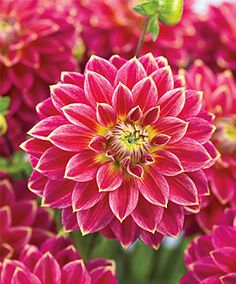Mr. Optimist Dahlia.. Ok for zone 3.  Plant tubers well after frost-free date.The ideal soil temp for planting is 60F.  Low-nitrogen fertilizers, like 5-10-10, are suitable. Allow dahlias to grow in the garden until they are killed by a hard frost.  Cut back foilage and leave tubers in ground for 2 weeks, then dig up and rinse away soil with hose. Allow to dry outside for 24 hrs then store in cool, dry, dark place wrapped in newspaper over the winter.