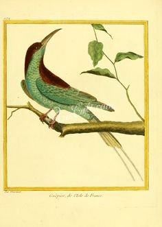Blue-throated bee-eater      ...
