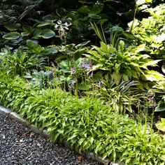 Lining a walkway with 'Lemon Lime' mini hostas creates a clean border and allows taller varieties, such as golden 'Pineapple Juice' (upper right), to stand out.   Photo: Alison Rosa   thisoldhouse.com