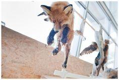 Foto: Claudia Corrent Fox, Animals, Museum, Fotografia, Animales, Animaux, Animal, Animais, Foxes