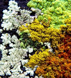 Lichens, Fall Report from the Sierra Foothills