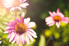 Coneflowers with flare…