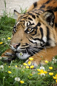 Amazing wildlife - Tiger photo #tigers - Exclusive Tshirt For Pet Lovers - You can find more information at: https://www.facebook.com/pages/Tshirt-For-Pet-Lovers/702483263153915