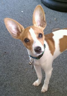 Jax, a toy rat terrier at 5 months. This is the color of my baby girl. They are the greatest pet EVER. Rat Terrier Puppies, Toy Fox Terriers, Terrier Breeds, Boston Terrier Dog, Dog Breeds, Mini Pinscher, Cute Puppies, Cute Dogs, Dogs And Puppies