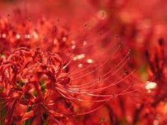 Kết quả hình ảnh cho hoa bỉ ngạn
