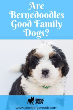 Bernedoodles are an intelligent low shedding dog, know for their mellow and extremely loyal personality. But how would they do in a family with small kids?