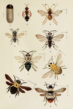 Illustration from 'Indian Insect Life: A Manual of the Insects of the Plains', by Harold Maxwell-Lefroy.