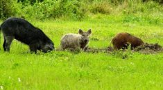 The feral pig population in the U. is a growing problem in nearly 40 states. HowStuffWorks NOW looks into how the USDA intends to tackle the issue. Feral Pig, Brown Recluse, Flesh Eating, Texas Parks, South Texas, Livestock, Habitats, Wildlife