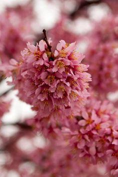 Sakura/Cherry Blossom Bomb.