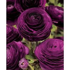 """Spring: Ranuculus Purple. Each bulb produces upwards of 10 flowers 14"""" high. Excellent cut flower. Imagine these with white daffs or daisies."""