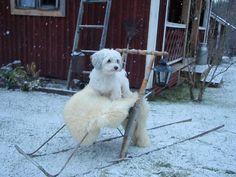1000+ images about bichon havanese havannankoira on Pinterest ... Havanese Grooming, Malteser, Finland, Pets, Animals, Future, Pictures, Animales, Future Tense