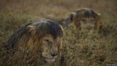 Michael Nichols won the 'Wildlife Photographer of the Year 2013'-Award with this picture - These lions are pissed... - Imgur