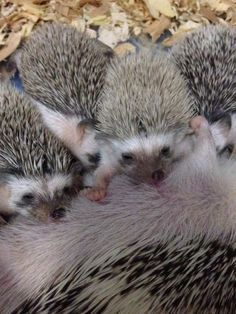 If you think of what do hedgehogs eat, you may usually think of nutritious foods. But, similar to humans who loves junk food, hedgehogs are not exempted...