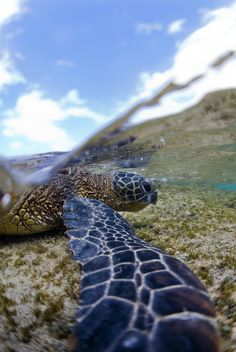 Amazing photo of a green sea turtle (Honu) in Hawaii by Ian Lindsey, one of my favorite photographers.