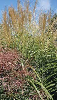 Ornamental Grasses for Cold Climates