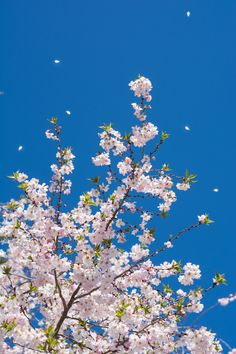 A fully bloom Sakura flower or known as Cherry Blossom in pink color flowing under the blue sky at the beginning of Spring Season in Washington DC, USA