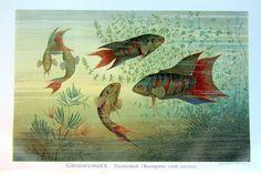 1896 antique paradise fishes engraving, original sea life antique color lithograph plate print, paradise gouramis marine animals.