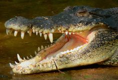 http://beststockpictures.toinspire.in/plog-content/images/wallpapers/aligators-crocodiles/pics-animals-clearly-visible-teeths-and-jaw-crococile-pictures.Jpg