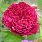 Afbeelding van http://tuin.frensen.com/tuinsite/the-squire.jpg.