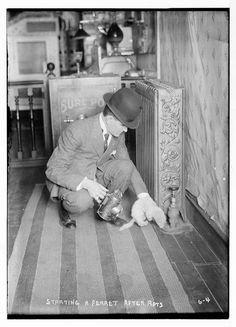Rat catcher starting a ferret after rats. George Grantham Bain Collection. Library of Congress Prints and Photographs Collection.