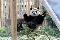 Las Mejores 9 Ideas De Pandas Del Zoo De Madrid Zoo De Madrid Pandas Zoo