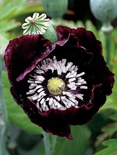 Papaver 'Single Black'