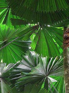 Licuala ramsayi - Palmpedia - Palm Grower's Guide