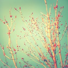 """Spring Tree Buds, Nature Photography, 8x8 photograph - """"So Soon Spring"""" - fine art print - vintage photography, Red Spring Trees"""
