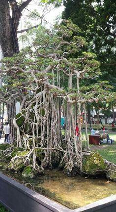 Ficus Bonsai, Ficus Tree, Bonsai Art, Bonsai Plants, Bonsai Garden, Orchid Tree, Plantas Bonsai, Bonsai Styles, Small Trees