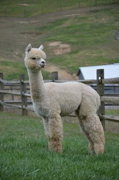 Peruvian Alpaca There is something very endearing about these animals Cute Baby Animals, Farm Animals, Animals And Pets, Funny Animals, Alpaca Pictures, Llama Arts, American Animals, Cute Llama, All Gods Creatures