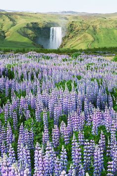 Summer landscape with blooming lupines - Skogafoss Waterfall, Iceland