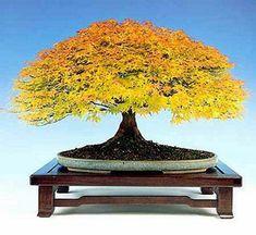 Easy To Grow Houseplants Clean the Air Maple Bonsai In Autumn Colors Bonsai Acer, Maple Bonsai, Bonsai Plants, Bonsai Garden, Garden Trees, Bonsai Trees, Ikebana, Miniature Trees, Growing Tree