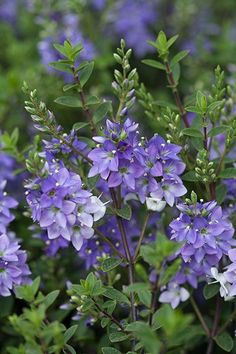 Hebe 'Youngii' - A compact, spreading, evergreen shrub which is smothered in short spikes of large violet flowers all summer, that gradually fade to white. The tiny leaves are dark green and glossy and often have fine red margins. Its spreading habit makes it ideal for rock gardens, or try it planted en-masse along a path or driveway. Like most hebes, it will flourish in a range of conditions, and once established, it is drought-tolerant, too. The flowers are a magnet for bees and…