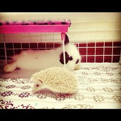 #pet #bunny #rabbit #hedgehog #hedgie #cute #smallanimal