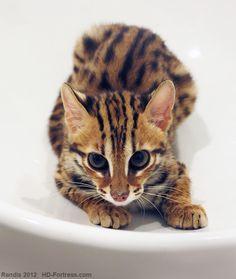 Bengal kitten (Asian Leopard Cat)