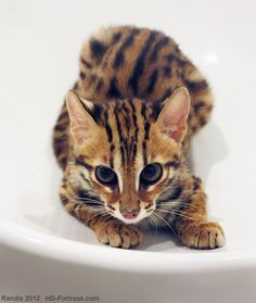 Bengal kitten (Asian Leopard Cat)