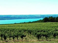 The Keuka Lake region is home to the ultimate in wine history! The home of the first Vinifera vines offers the most diverse group of wineries of any destination in the Finger Lakes. The Keuka Lake Wine Trail is an amazing way to experience the fabulous wines that are winning world-wide acclaim from this region! Whether your taste is dry or sweet fruity or austere the vintages of Vinifera Hybrid and Native wines are sure to please every palate. Best picks from the trail:  Dr. Konstantin…